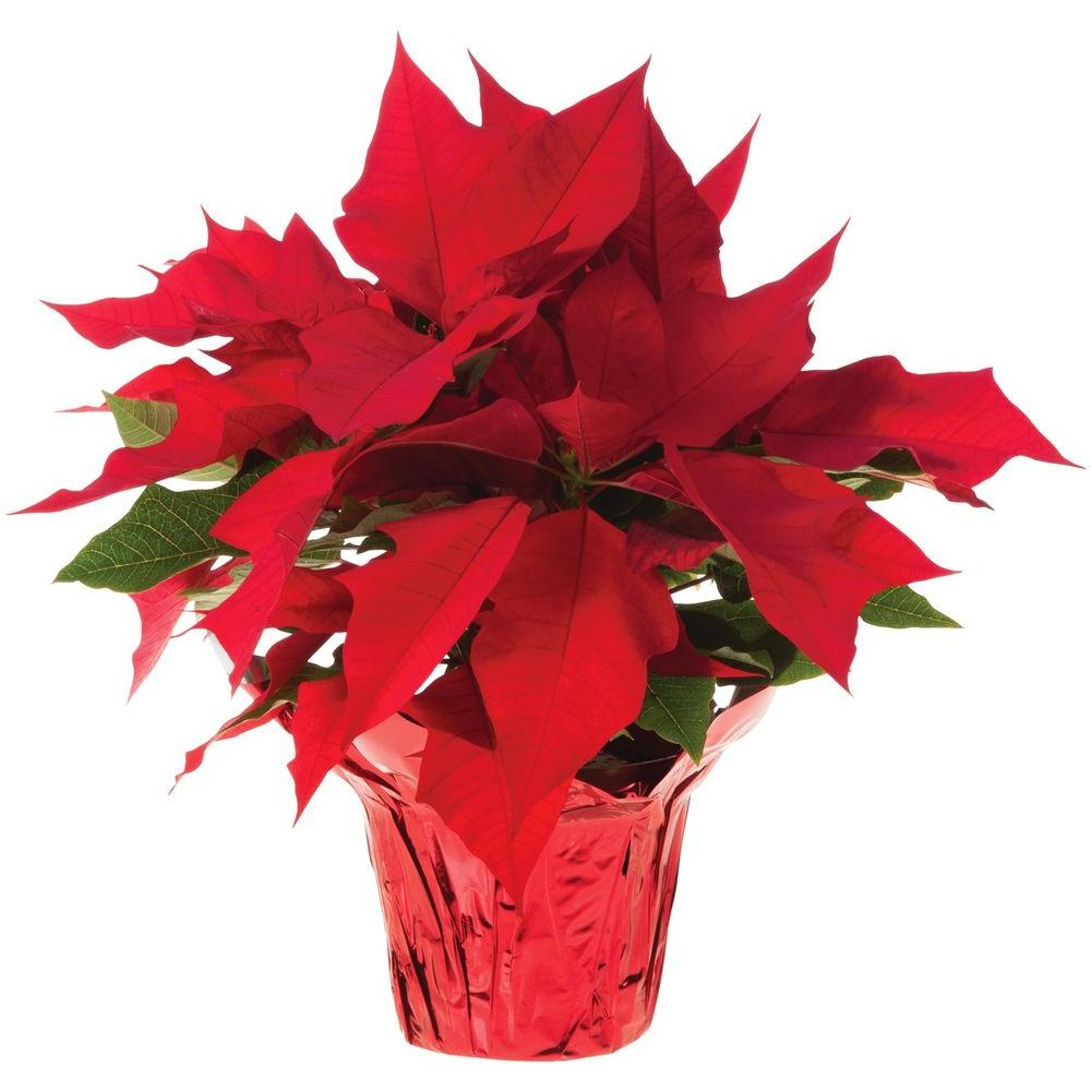 Picture of a poinsettia plant.